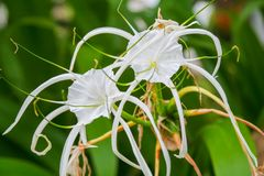 Crinum Blumen lilly Lizenzfreies Stockbild