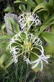 Crinum. In botanic garden Osaka Japan Stock Image