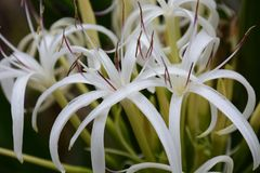 Crinum flowers. Is swaying in the sea breezes Royalty Free Stock Photo