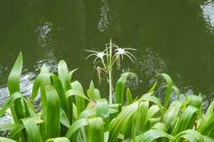 Crinum flowers on green leaf Stock Photo