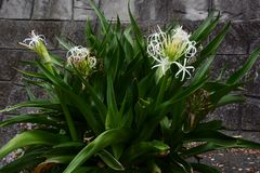 Crinum flowers. Is swaying in the sea breezes Stock Images