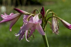 Crinum in the garden. Lilac crinum on green background Royalty Free Stock Photos