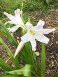 Crinum latifolium flower. In nature garden Stock Image