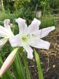 Crinum latifolium flower. In nature garden Stock Photos