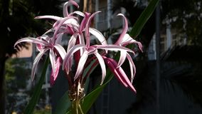 Crinum latifolium flowers blooming at the city park.  stock video