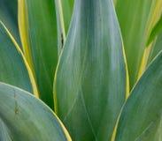 Crinum latifolium plants at the Botanic Garden in Singapore Royalty Free Stock Photo