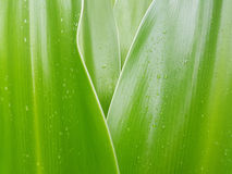 Crinum-Lilienurlaub mit Regentröpfchen Lizenzfreie Stockbilder