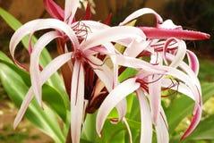 Crinum lilja (uddeliljan) Arkivbilder