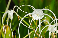 Crinum Lily or Royalty Free Stock Images