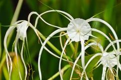 Crinum Lily or. Crinum asiaticum Royalty Free Stock Images