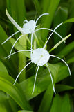 Crinum Lily. An  shot of White crinum spiderlily Flower Royalty Free Stock Image