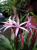 Crinum. Lily beautiful Royalty Free Stock Photography