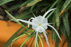 Crinum Lily, Cape Lily Stock Photos