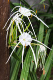 Crinum Lily, Cape Lily, Poison Bulb, Spider Lily,Crinum asiaticu Royalty Free Stock Images
