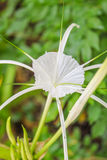 Crinum Lily, Cape Lily, Poison Bulb, Spider Lily flowers Royalty Free Stock Photography