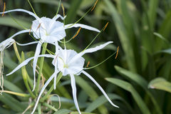 Crinum Lily, Cape Lily, Poison Bulb, Spider Lily. Stock Photos