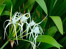 Crinum Lily, Cape Lily, Spider Lily, Poison Bulb Stock Photography