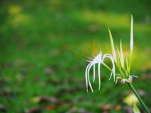 Crinum Lily, Crinum asiaticum, tropical alternative herbal medicine and decorative plant Stock Image
