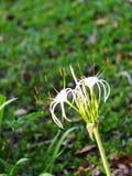 Crinum Lily, Crinum asiaticum, tropical alternative herbal medicine and decorative plant Royalty Free Stock Photo