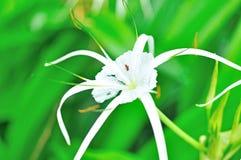 Crinum Lily, Crinum asiaticum Stock Photos