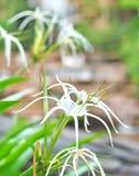 Crinum Lily, Crinum asiaticum Royalty Free Stock Photos