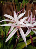 Crinum. Lily flower Stock Photography