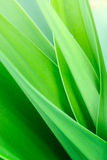 Crinum lily  leaf Royalty Free Stock Image