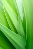 Crinum lily  leaf Stock Photo