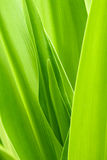 Crinum lily  leaf Stock Photos
