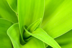 Crinum lily  leaf Stock Image