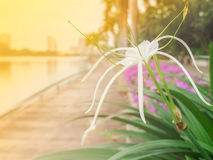Crinum lily. Is planted as ornamental for their beauty and fragrance, making light soft and blur Royalty Free Stock Image