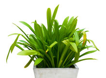 Crinum Lily. In pots jardiniere isolated on white background Royalty Free Stock Images