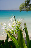 Crinum lily in shadows of Kaunaoa beach; Big Island; Hawaii Royalty Free Stock Image