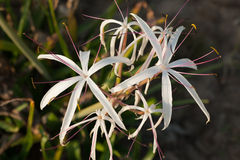 Crinum Lily Stock Image
