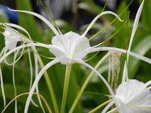 Crinum Lily. White Crinum Lily, flower ,nature , fresh ,Crinum Lily, Cape Lily, Poison Bulb, Spider Lily Royalty Free Stock Photo