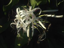 Crinum Plant Blossoming in Garden. Stock Image