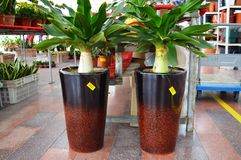Crinum Plants Potted Stock Photography