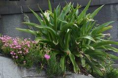 Grand crinum lily Crinum asiaticum. Crinum is a seaside plant stock image