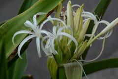 Grand crinum lily Crinum asiaticum. Crinum is a seaside plant stock photos