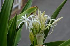 Grand crinum lily Crinum asiaticum. Crinum is a seaside plant royalty free stock photos