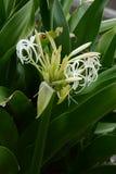 Grand crinum lily Crinum asiaticum. Crinum is a seaside plant stock photography