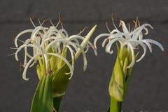 Grand crinum lily Crinum asiaticum. Crinum is a seaside plant stock images