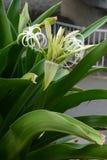 Grand crinum lily Crinum asiaticum. Crinum is a seaside plant royalty free stock image