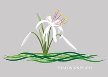 Crinum Thaianum Foto de Stock Royalty Free