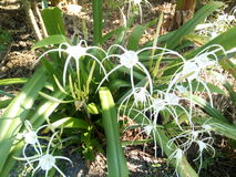 That Crinum. With white flowers grow as a church or government Royalty Free Stock Images