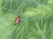 Crioceris quatuordecimpunctata. Royalty Free Stock Photo