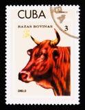 Criollo Bos primigenius taurus, Breeds of cattle serie, Cuban circa 1973 Stock Photo