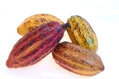Criollo rozmaitości kakao owoc Fotografia Stock