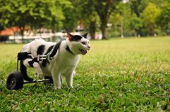 Cripple Cat In Wheelchair. A paralyzed cat sit in wheelchair at the field Royalty Free Stock Photo