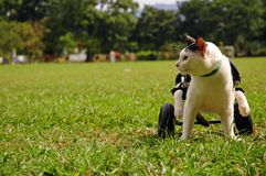 Cripple Cat In Wheelchair. A paralyzed cat sit in wheelchair at the field Stock Images